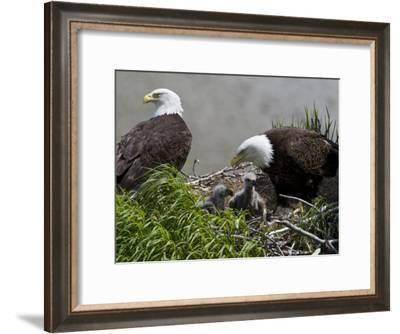 American Bald Eagles, Haliaeetus Leucocephalus, in Nest with Young-Roy Toft-Framed Photographic Print