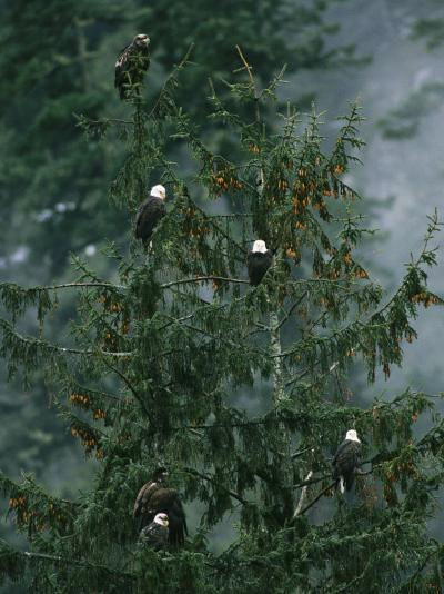 American Bald Eagles Perch in a Treetop-Klaus Nigge-Photographic Print