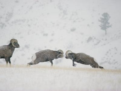 American Bighorn Rams Square off in a Duel-Michael S^ Quinton-Photographic Print