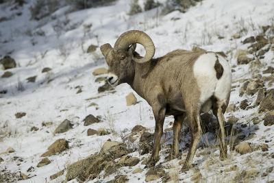 American Bighorn Sheep on Ridge-DLILLC-Photographic Print