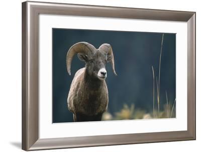 American Bighorn Sheep-DLILLC-Framed Photographic Print