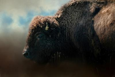 American Bison after the Storm-Jai Johnson-Giclee Print