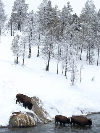 https://imgc.artprintimages.com/img/print/american-bison-bison-bison-crossing-a-river-in-yellowstone-national-park-in-winter-unesco-world_u-l-pfwcn50.jpg?p=0