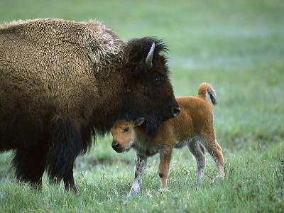 American Bison (Bison Bison) Female and Calf, Yellowstone Nat'l Park, Montana-Suzi Eszterhas/Minden Pictures-Photographic Print