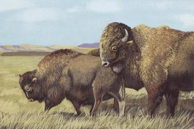 American Bison (Bison Bison)--Giclee Print
