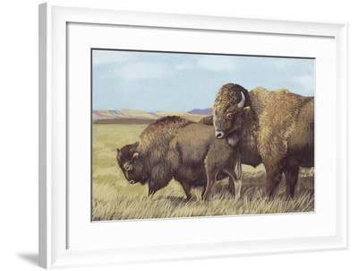 American Bison (Bison Bison)--Framed Giclee Print