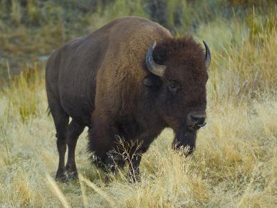 American Bison Buffalo, National Bison Range, Montana, USA-Charles Crust-Photographic Print