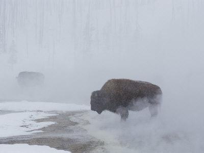 https://imgc.artprintimages.com/img/print/american-bison-graze-in-a-cloud-of-fog-caused-by-melting-snow_u-l-p3r38p0.jpg?p=0