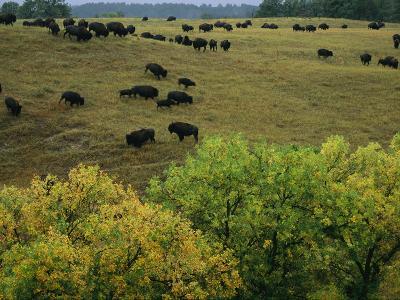 American Bison Graze on Gentle Hills Near Trees Displaying Autumn Foliage-Joel Sartore-Photographic Print