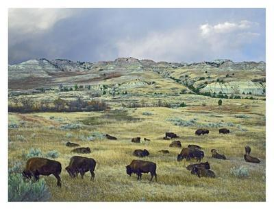 https://imgc.artprintimages.com/img/print/american-bison-herd-grazing-on-praire-theodore-roosevelt-np-north-dakota_u-l-f7ifd80.jpg?p=0