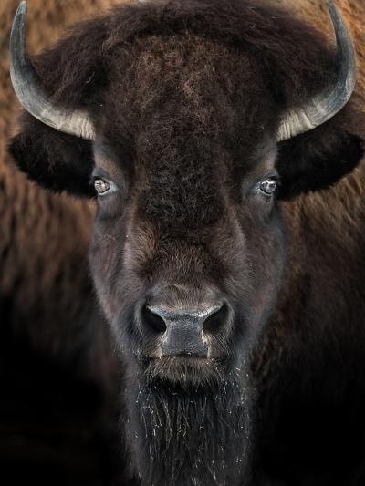 American Bison II-abzerit-Photographic Print