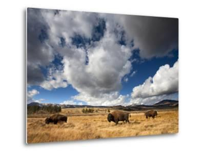 American Bison in Yellowstone National Park, Wyoming.