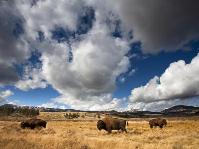 American Bison in Yellowstone National Park, Wyoming.--Photographic Print