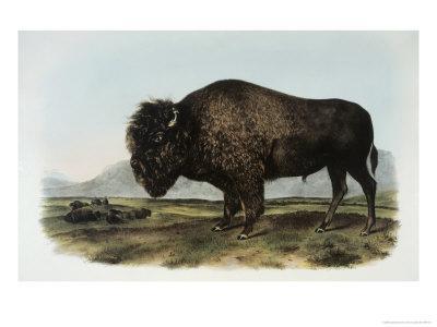 https://imgc.artprintimages.com/img/print/american-bison-or-buffalo_u-l-p3a91w0.jpg?p=0