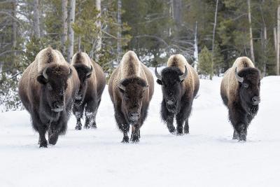 American Bison-David Osborn-Photographic Print