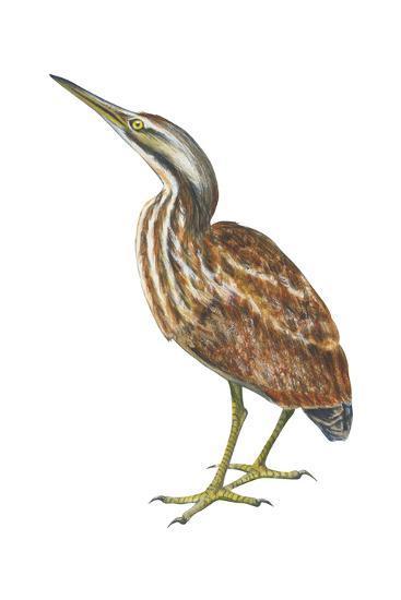 American Bittern (Botaurus Lentiginosus), Birds-Encyclopaedia Britannica-Art Print