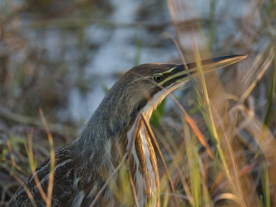 American Bittern, Viera Wetlands, Florida, Usa-Maresa Pryor-Photographic Print