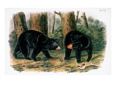 https://imgc.artprintimages.com/img/print/american-black-bear-1844_u-l-pgmd4t0.jpg?artPerspective=n