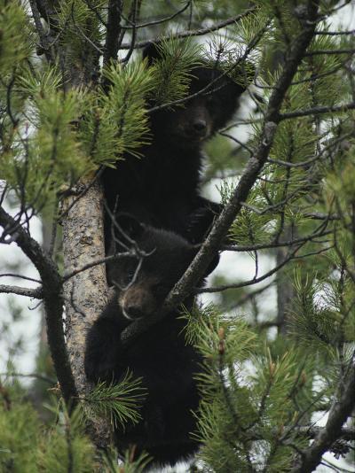 American Black Bear Cubs Climb a Lodgepole Pine-Michael S^ Quinton-Photographic Print