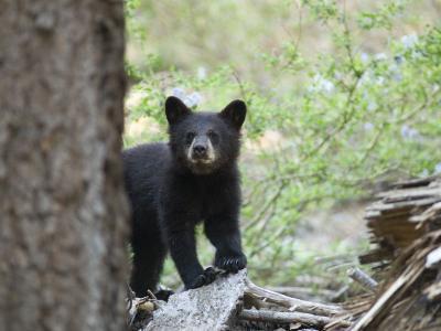 American Black Bear (Ursus Americanus) First Year Cub-Rich Reid-Photographic Print