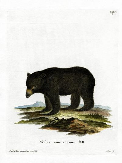 American Black Bear--Giclee Print
