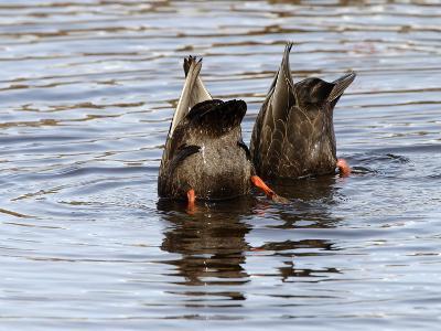 American Black Ducks (Anas Rubripes) Feeding-Garth McElroy-Photographic Print