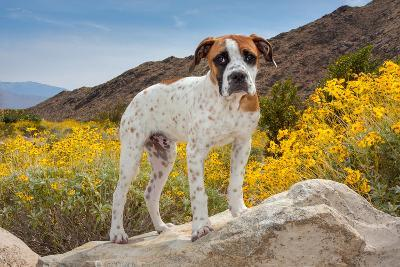 American Bulldog Puppy on Boulder Surrounded by Flowers-Zandria Muench Beraldo-Photographic Print