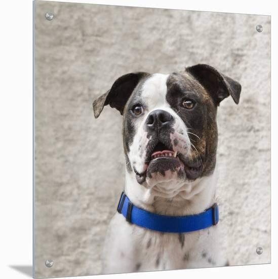 American Bulldog with a Blue Collar- D.M.-Art on Acrylic