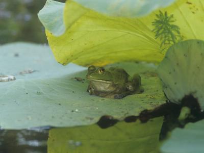 American Bullfrog (Rana Catesbeiana) on a Water Lily Pad, North America-Adam Jones-Photographic Print