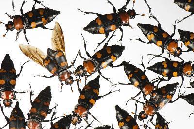 American Burying Beetle, Nicrophorus Americanus.-Joel Sartore-Photographic Print