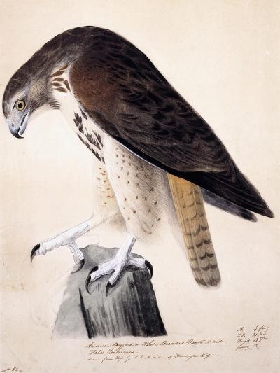 American Buzzard or White Breasted Hawk-John James Audubon-Giclee Print