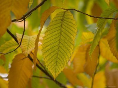 American Chestnut Tree at the Maxwell Arboretum-Joel Sartore-Photographic Print