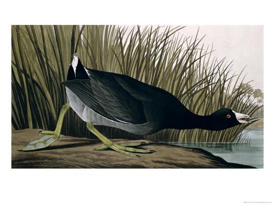 American Coot, from Birds of America, 1835-John James Audubon-Giclee Print