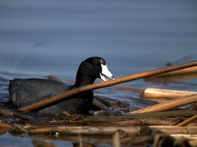 American Coot, Fulica Americana, with Material to Construct a Nest-John Cancalosi-Photographic Print