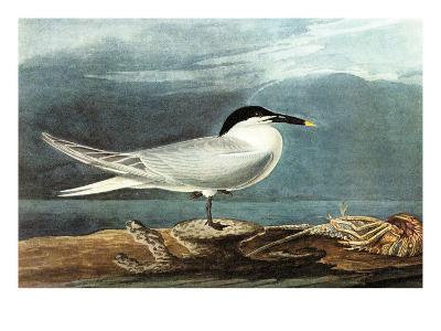 American Coot-John James Audubon-Art Print