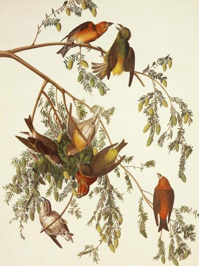 American Crossbill-John James Audubon-Art Print