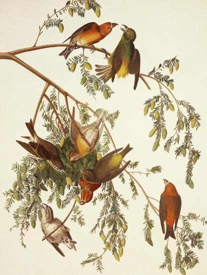 American Crossbill-John James Audubon-Art Print