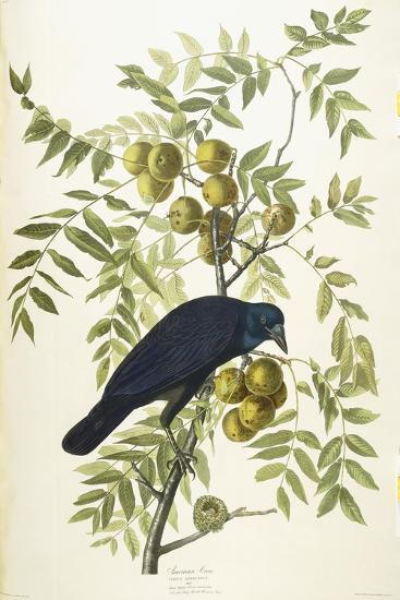 American Crow, 1833-John James Audubon-Giclee Print