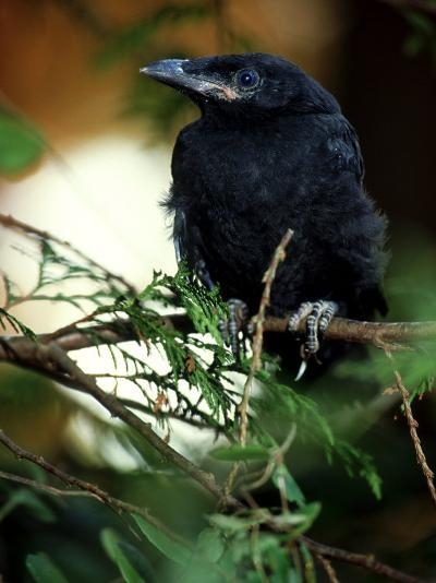 American Crow, British Columbia-Olaf Broders-Photographic Print