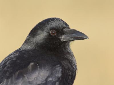 American Crow Head, Bosque Del Apache National Wildlife Refuge, New Mexico, USA-Arthur Morris-Photographic Print