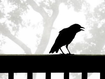 American Crow Silhouetted Against a Grey Sky with His Beak Open-White & Petteway-Photographic Print
