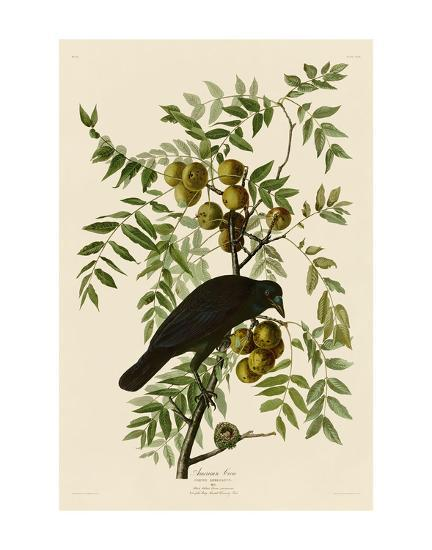 American Crow-John James Audubon-Art Print