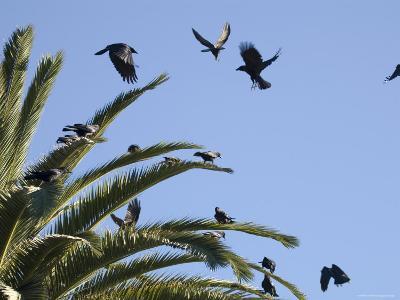 American Crows Causing a Fuss in a Palm Tree, Santa Barbara, California-Rich Reid-Photographic Print