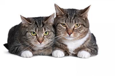 American Curl Cat-Fabio Petroni-Photographic Print