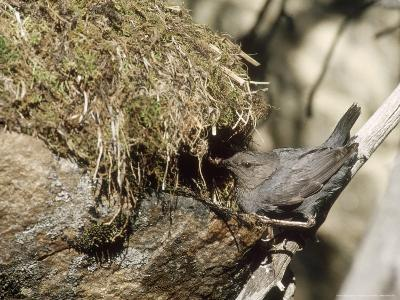American Dipper at Nest, USA-Mary Plage-Photographic Print