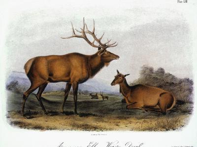 American Elk, 1846-John James Audubon-Giclee Print