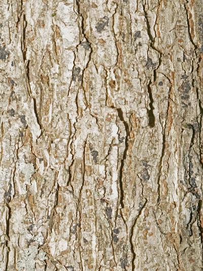 American Elm Tree (Ulnus Americana)-Scientifica-Photographic Print