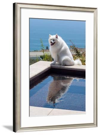 American Eskimo Poolside-Zandria Muench Beraldo-Framed Photographic Print