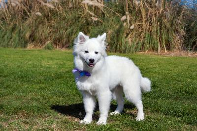 American Eskimo Puppy in Field-Zandria Muench Beraldo-Photographic Print