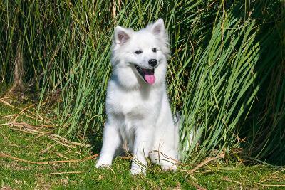American Eskimo Puppy Sitting Near Tall Grasses-Zandria Muench Beraldo-Photographic Print